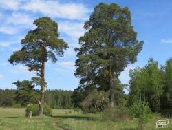 Окские леса